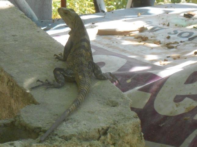 A lot of Iguanas around mangroves.