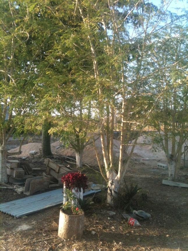 Moringa tree.