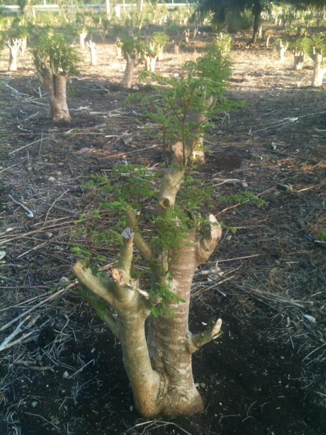 Young Moringa tree