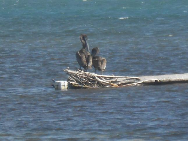 Pelicans in Xcalak.