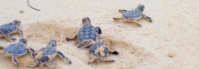 Sea turtles hatching from eggs.