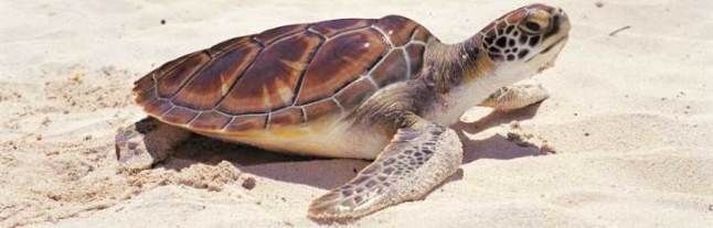 Adult sea turtle.