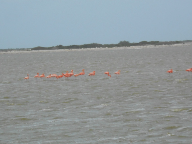 Pink Flamingos on salt flats on Los Colordos.