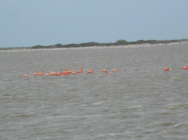 Pink Flamingos on salt flats on Los Colordos.