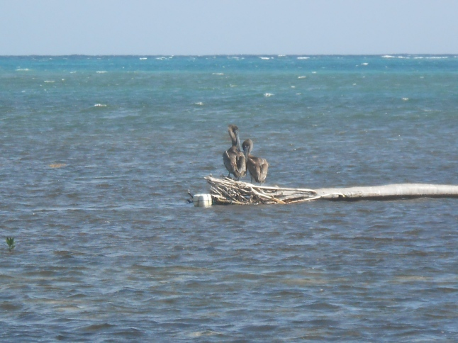 2 pelicans hanging out.