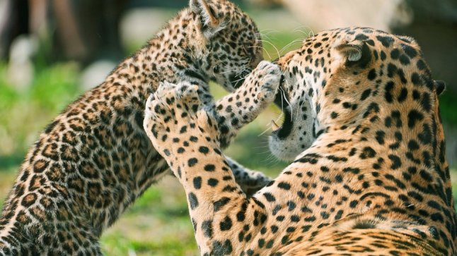295146__mother-leopard-and-baby_p