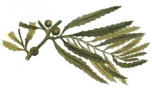 Sargassum Natans.