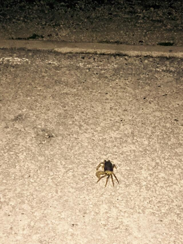 Crab on road.
