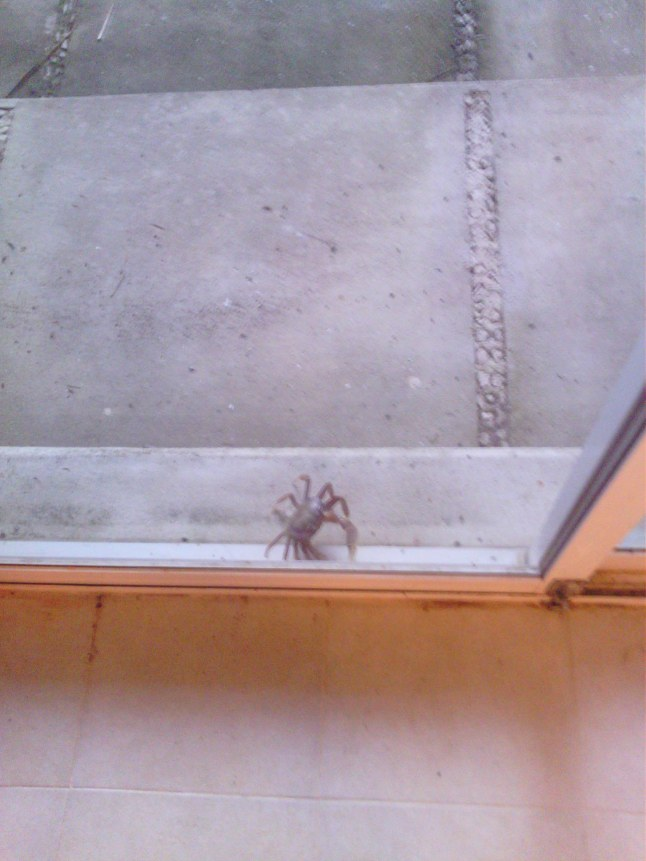 Crab trying to get in to watch football.