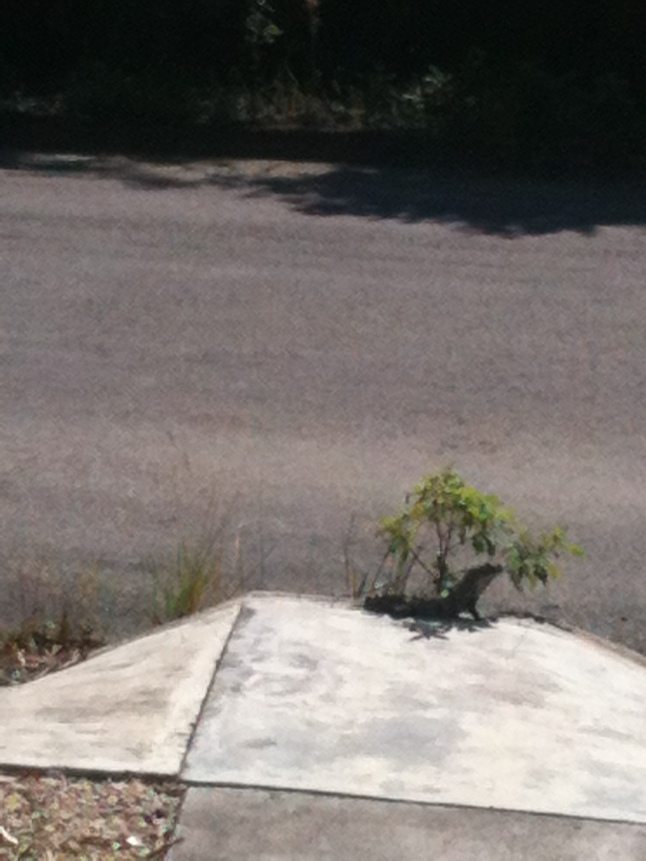 Every morning when I leave my house to go to work or the malecon, this Iguana is sitting there waiting on me.  I think he lives in the drain on the street.  But every day he is there waiting on me, sunning himself, he is like a pet.