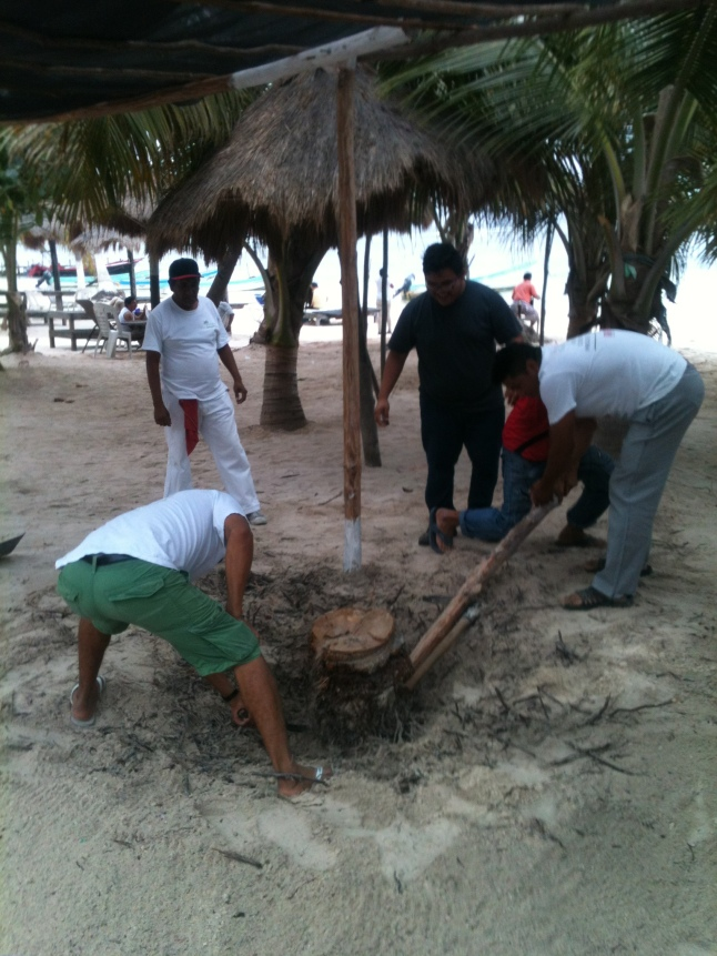 Digging up a dead cocoanut tree stump.