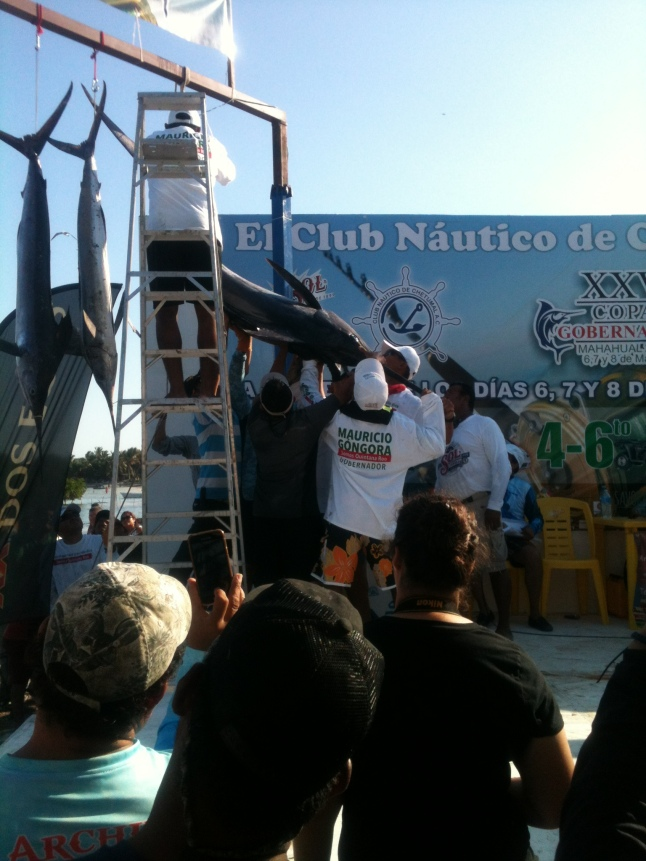 Winning Blue Marlin being lifted to scales.