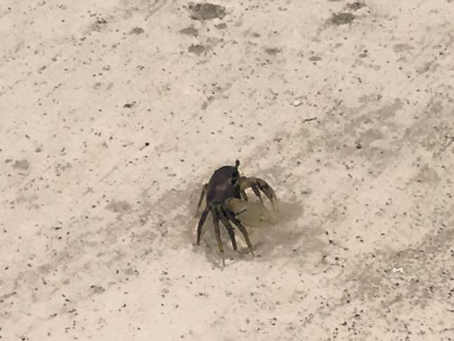 Cardisoma Guanhumi, crab.