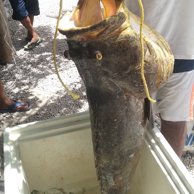 Goliath Grouper caught the other day bu Jorge from the Tropicante.