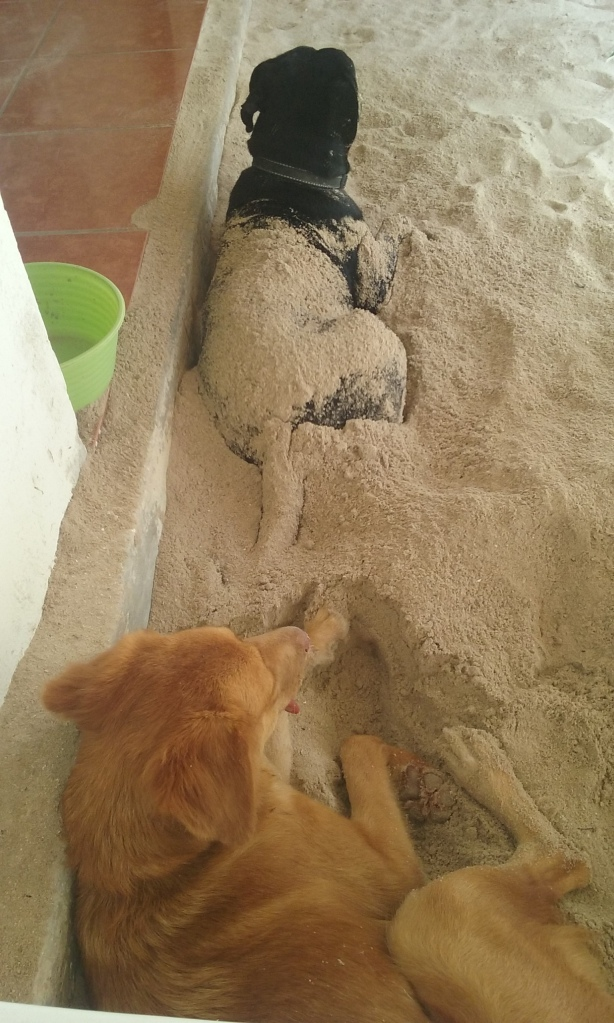 This is Canela and her friend Negro, two beach dogs.  Canela always digs a hole in the sand to get cool, and just throws the sand all over Negr, this is a daily occurence..