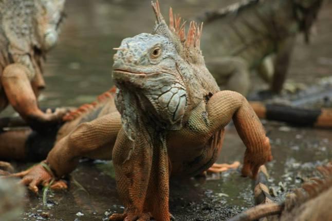 iguana 6
